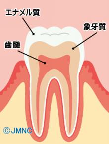 エナメル質と象牙質、歯髄腔などか
